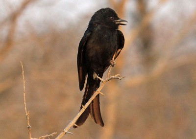 Forktailed Drongo (25cm)