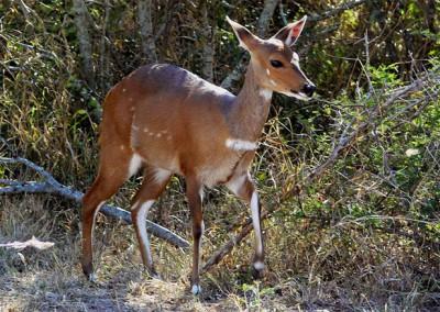 Bushbuck(♀) (30-36kg)
