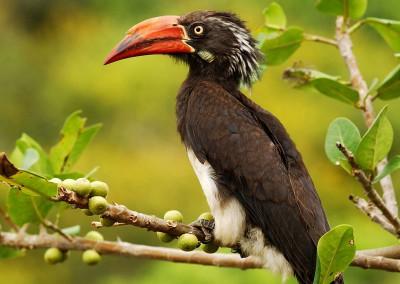 Crowned Hornbill (53cm)