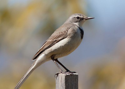 Cape Wagtail (18cm)