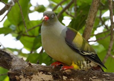 Green Pigeon(30cm)