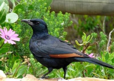 Redwinged Starling (27cm)