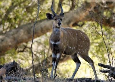 Bushbuck(♂) (40-77kg)