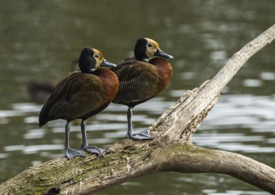 Whitefaced duck (48cm)
