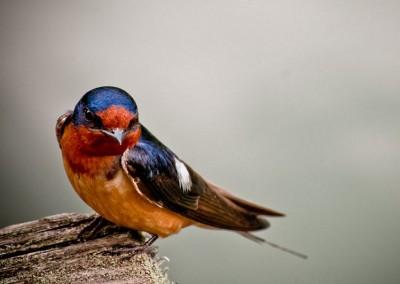 Barn Swallow (18cm)