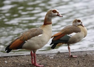 Egyptian Goose (71cm)
