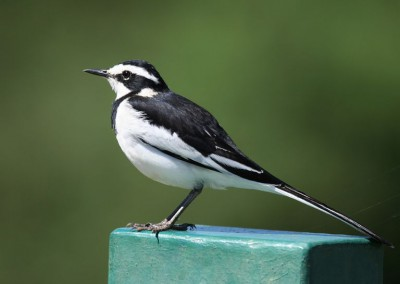 African Pied Wagtail (20cm)