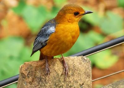 Natal Robin (20cm)